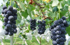 grape_ph_01_grape