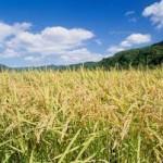今人気のもち米の種類は?品種別の特徴や価格相場も調査!