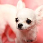 チワワなどの小型犬に必要な冬の防寒対策!なぜ寒さに弱いの?