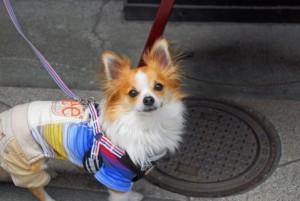 小型犬寒さ対策4