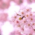 千葉で人気のお花見スポット!家族連れにオススメなのは?