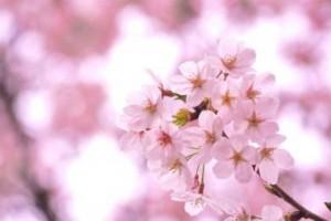 千葉お花見1
