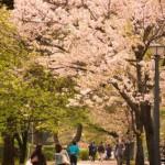 関東の桜の名所といえば?一度は観たいスポットランキング!