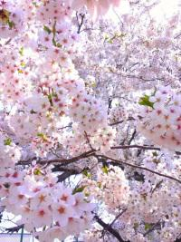 千葉お花見3