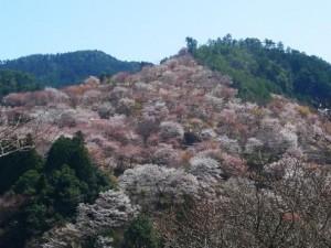 関西桜名所8