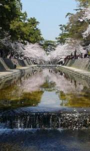 関西桜名所7