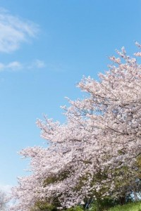 関西桜名所1