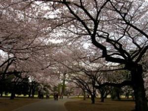 東京お花見4