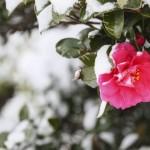 寒さに強い花特集!寒くても咲く花で冬もガーデニングを楽しむ!